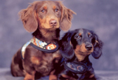 April @ Dachshund Delights